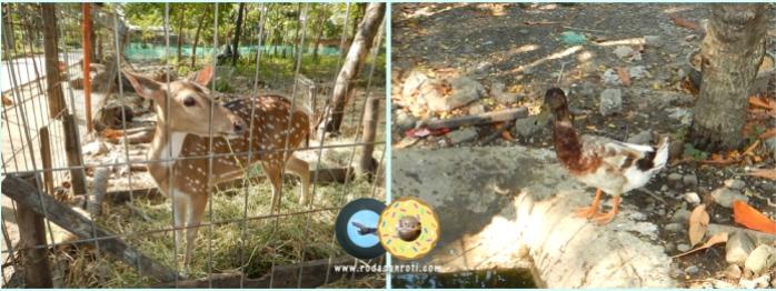 Rusa tutul dan bebek di kebun bibit wonorejo surabaya