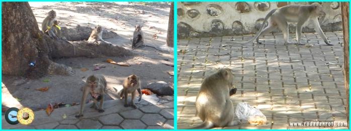 Monyet di baluran bekol dan pantai bama